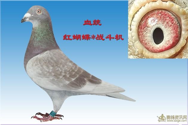 动物 鸽 鸽子 教学图示 鸟 鸟类 630_420