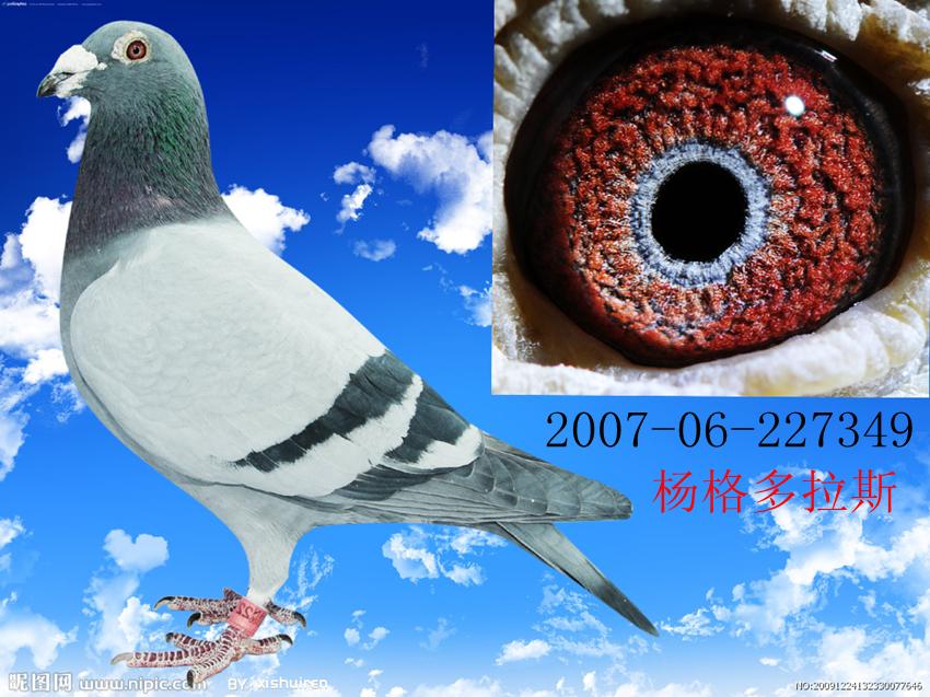 动物 鸽 鸽子 教学图示 鸟 鸟类 850_637