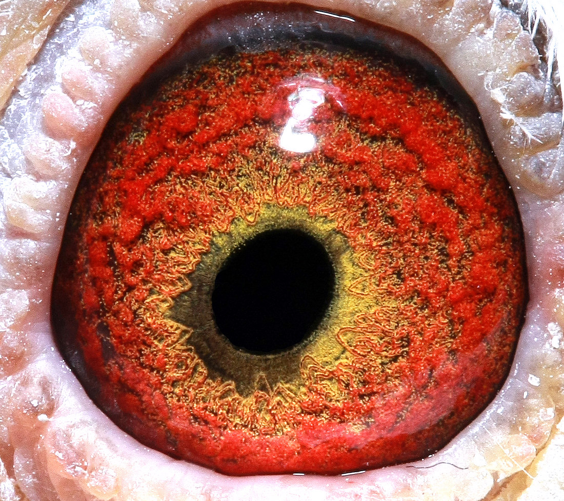 信鸽眼睛结构图片