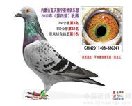 蓝天翔羽公棚2011年鸽王亚军