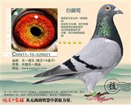 白翼号(鸽王718直子)