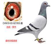 罗杰家族特留种鸽955