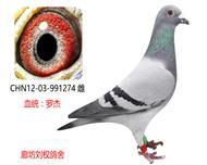 罗杰家族精品种鸽274