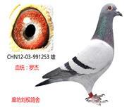 罗杰家族精品种鸽253