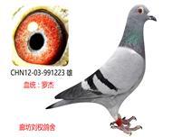 罗杰家族精品种鸽223