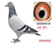 罗杰家族特留种鸽080