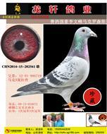 龙轩鸽业引进种鸽