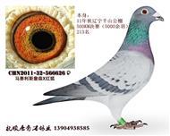 """鸽王家族-""""浅斑刺客""""626"""