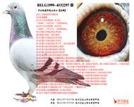 山坦士:开尔秘藏种鸽【老雄297】