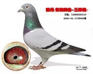 荷兰原环种鸽1已出售