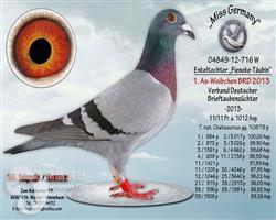 13年德国年度全国雌鸽鸽王冠军