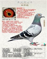 """德拉帕铭鸽""""冠军号""""直子--冠军雨711"""
