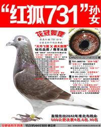詹森红狐731孙女【花冠狐狸】