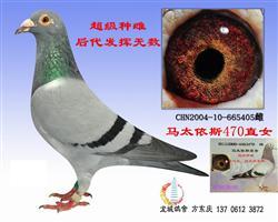 马太依斯三大超级种鸽之一