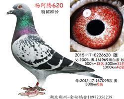 杨阿腾620