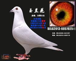 玉兰花(白雪公主)白鸽