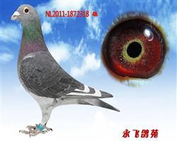种鸽杨阿��