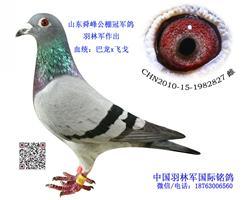 羽林军作出公棚冠军鸽(巴龙x飞戈血统)