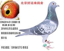 北京众益阳光赛鸽俱乐部春320公第31名