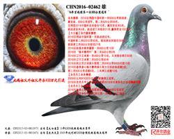 16百鸽园中国杯第一关500公里冠军