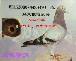 马太依斯原环种鸽