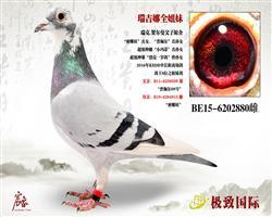 """""""瑞吉娜-KBDB中长距离幼鸽王""""全姐妹"""