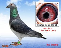 """胡本-大名鸽""""白鼻号""""直孙女-786"""