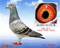 """胡本-大名鸽""""阿罗哈""""直孙女"""