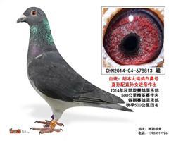 """胡本-大名鸽""""白鼻号""""近亲回血"""