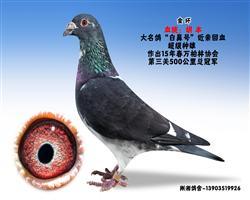 """胡本-大名鸽""""白鼻号""""近亲超级种雄"""