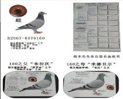 基础种鸽160