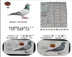 基础种鸽168