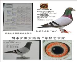 基础种鸽802