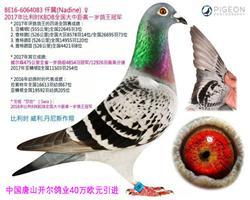 40万欧元天价雌鸽【仟翼】
