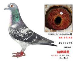 超远程老国血李鸟跃龙种鸽4