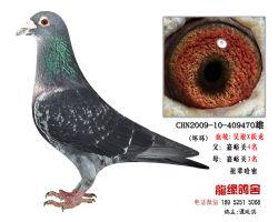 超远程老国血吴淞跃龙种鸽5