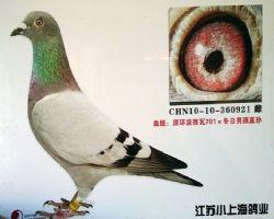 波西瓦701,冬日男孩直孙,金环种鸽
