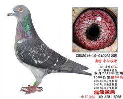 仅供欣赏1500公里第80名吴淞李鸟