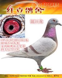 捷翔首届春季豪鸽精鹰杯大奖赛四关综合43
