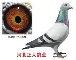 杨欧瓦克超级鸽王483直子