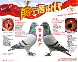 17年北京爱亚卡普奖鸽父母