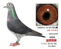 超远程老国血李鸟X跃龙种鸽5