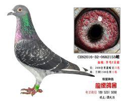 超远程老国血李鸟X吴淞种鸽3