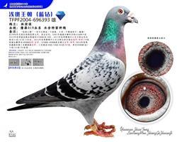 世纪铭鸽019直系浅斑王朝