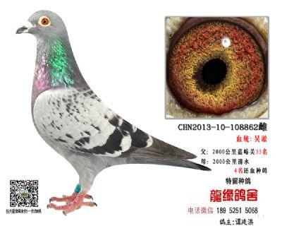 超远程老国血吴淞精品种鸽45