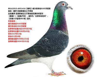 【黑鹰】威尔森联省8105羽冠军