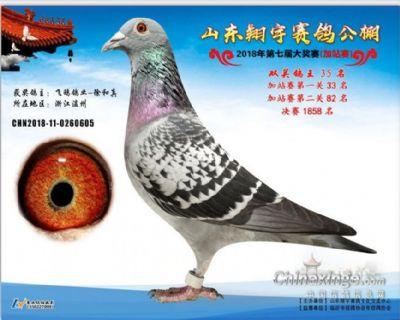 翔宇参赛鸽