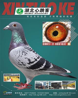 2017河南周口利剑公棚双关鸽王冠军