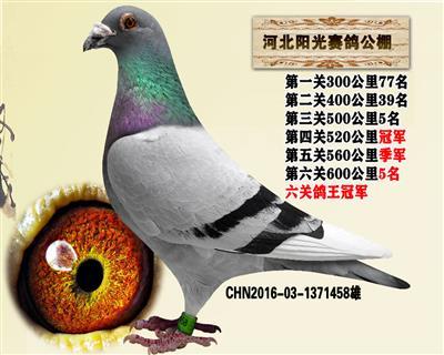 鸽王冠军凡龙