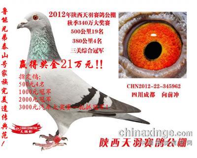 2012年陕西天羽赛鸽公棚决赛19名!
